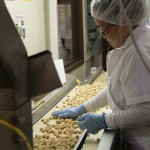hawaiian host press tour. preparing the macadamias. gardena, ca.